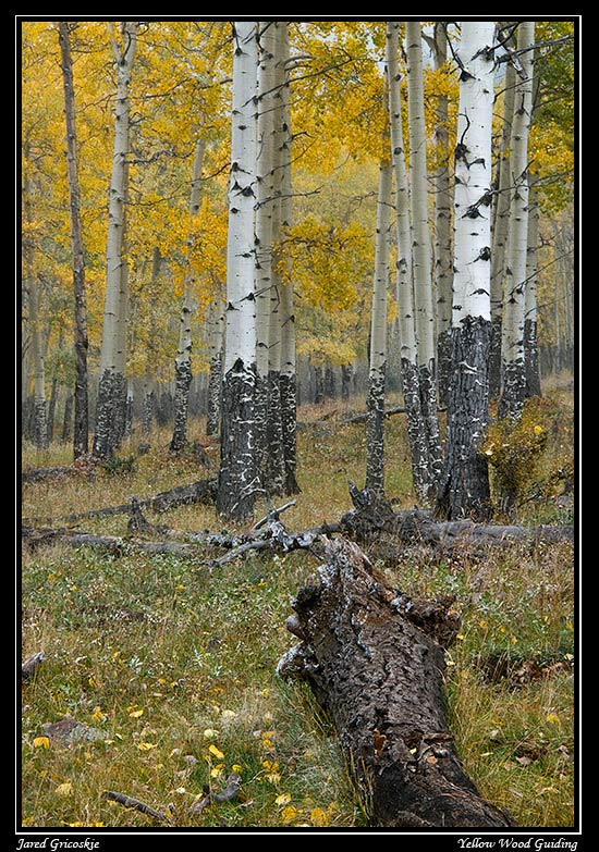 aspen grove in light snow author gricoskie jared