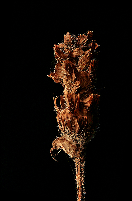 dried wild flower author sava gregory and verena