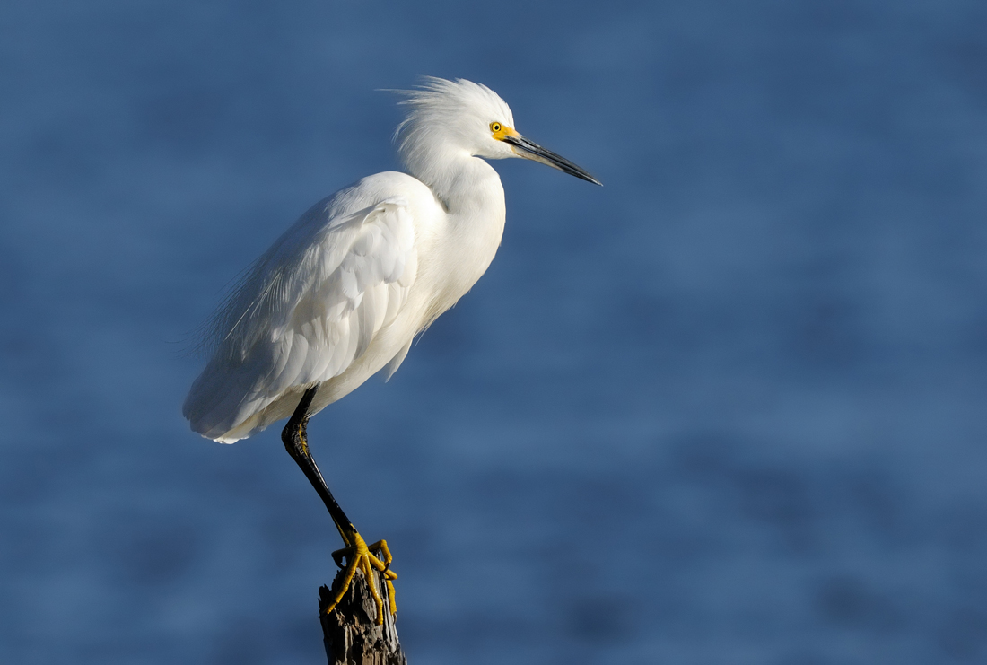 energetic snowy egret author judd lil