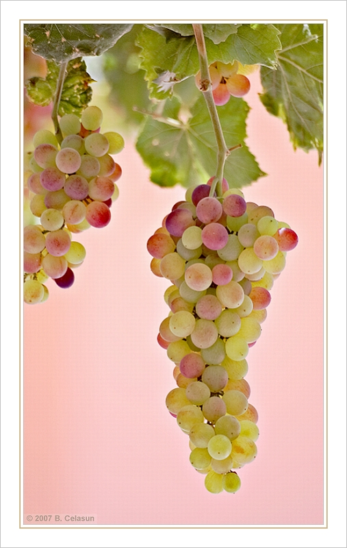 grapes author celasun bulent