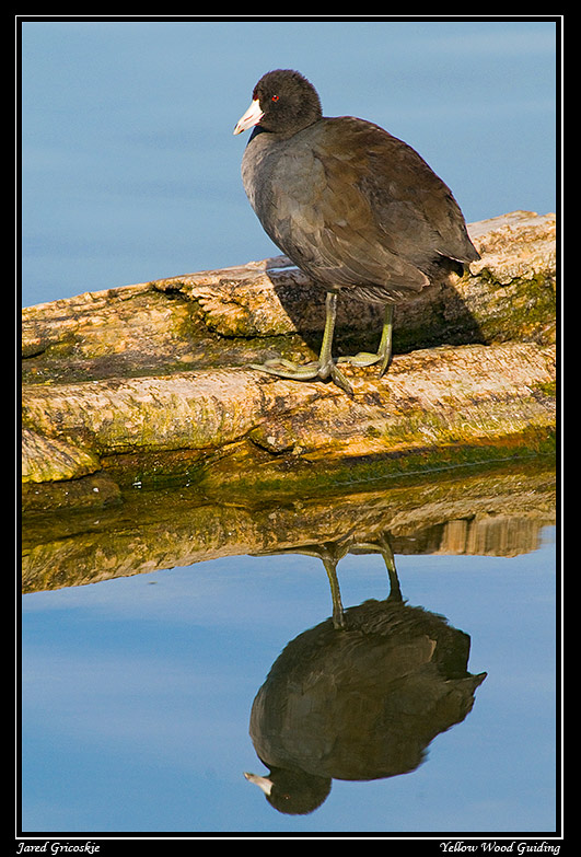 coot reflection author gricoskie jared
