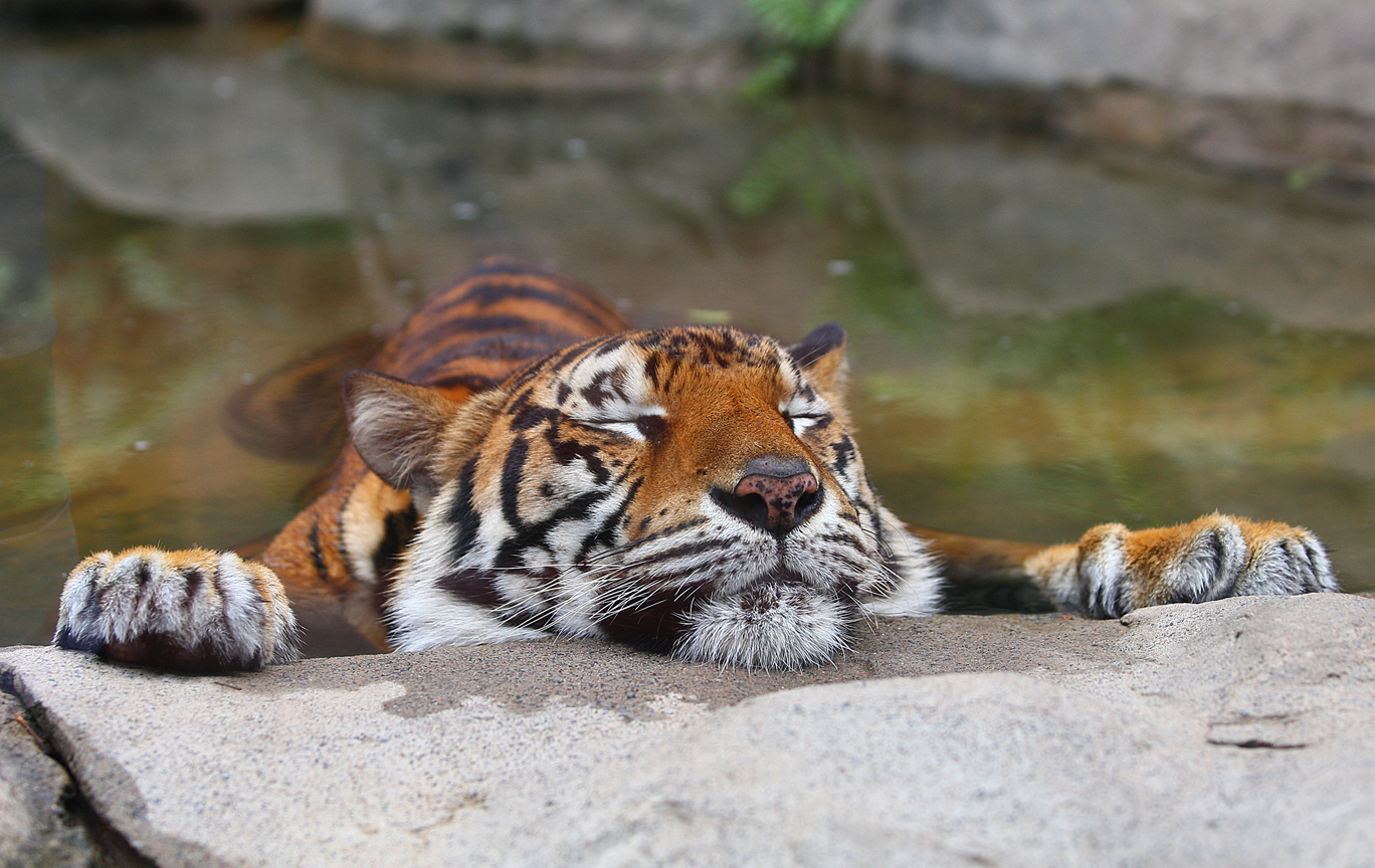 tiger sleeping in a rock pool on hot day author shaw stephen