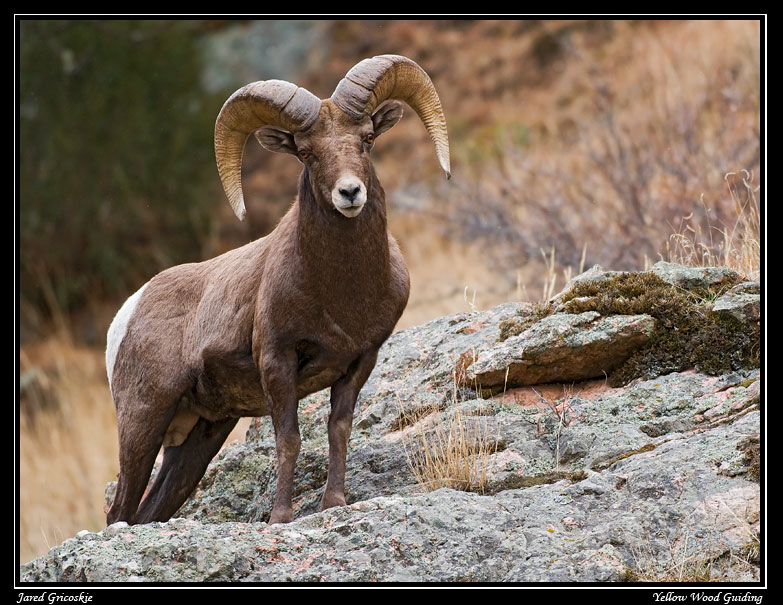 big horn ram on a rock author gricoskie jared