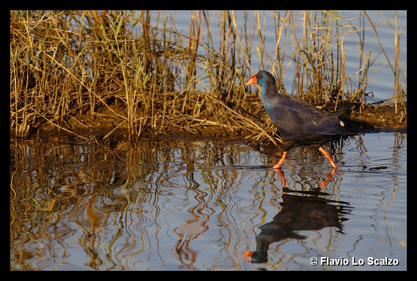 porphyrio purple swamphen author lo s scalzo flavio