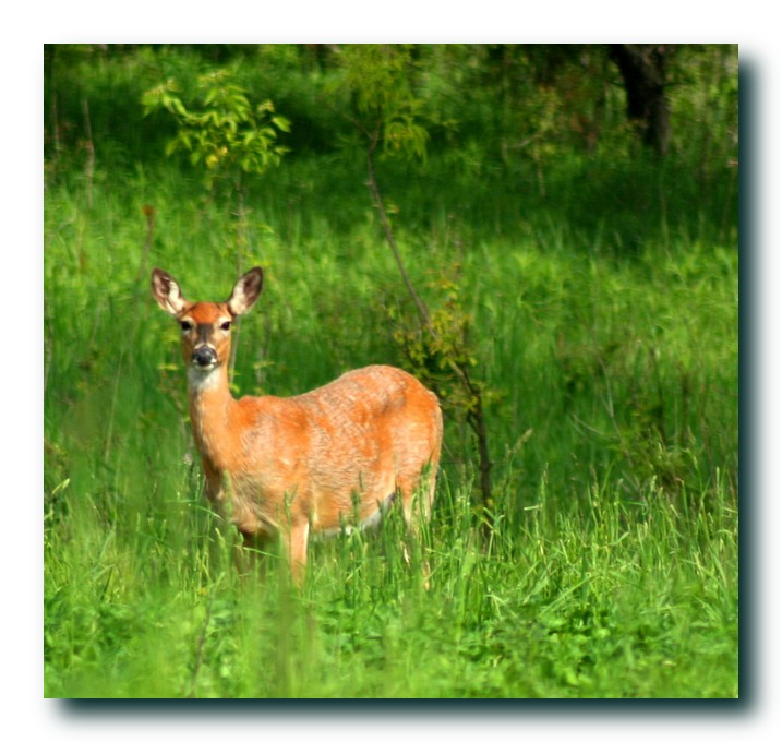 whitetail deer author ackerson pat