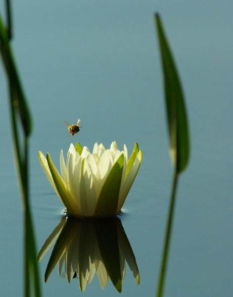 water lilly bee author watson richard