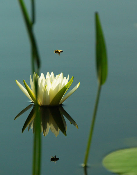 water lilly bee gwps author watson richard