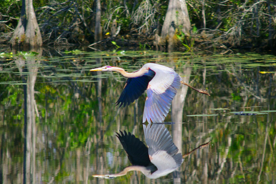 blue heron wing in water author watson richard