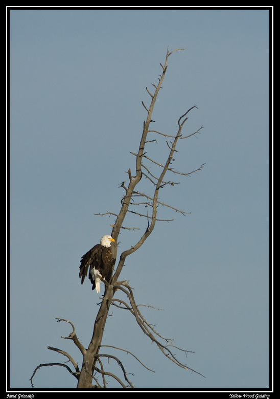 bald eagle over the madison author gricoskie jare jared