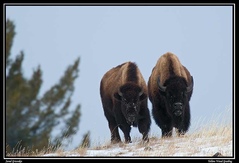 bison couple author gricoskie jared