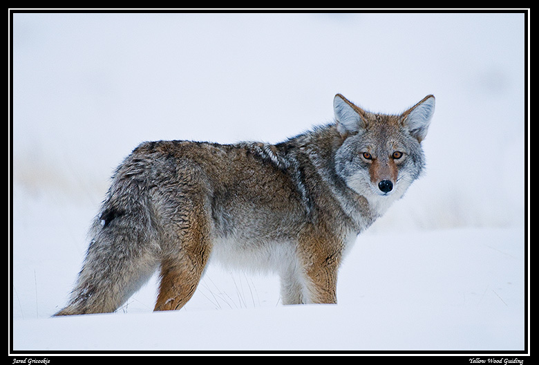 coyote in the snow author gricoskie jared