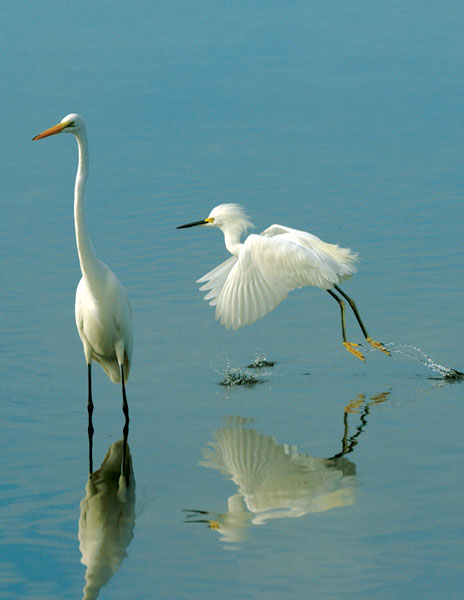 snowy and great egret ddwr author watson richard