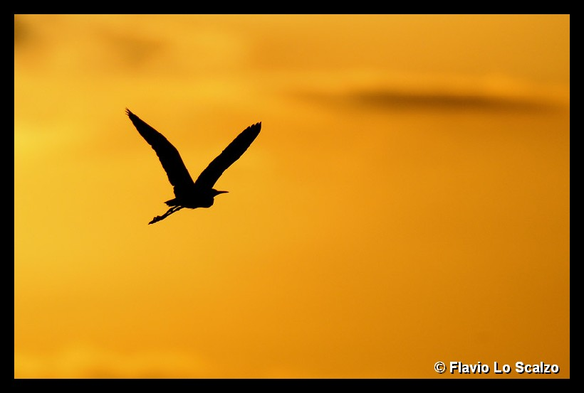 little egret at sunset author lo scalzo flavio