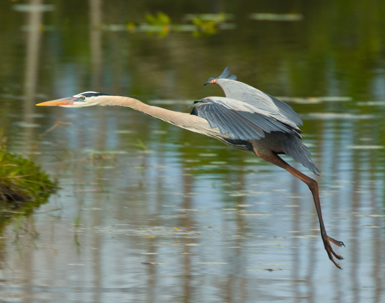 great blue heron gwps author watson richard