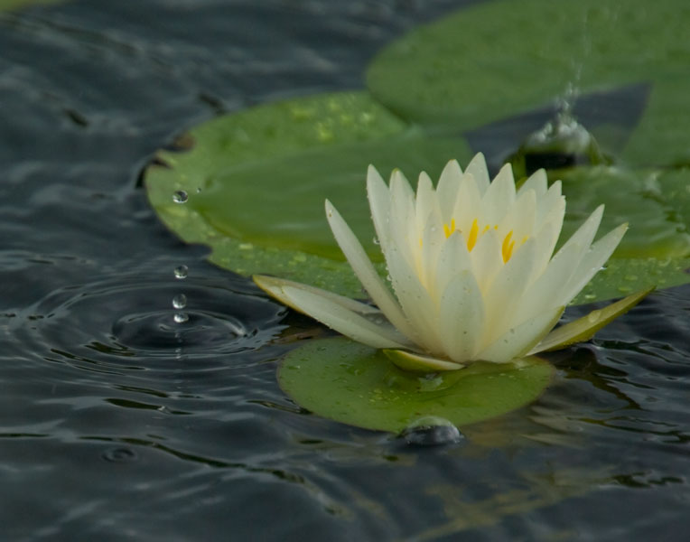 gwps water lilly and raindrops author watson rich richard