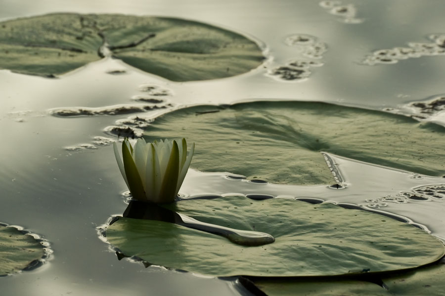 gwps water lilly author watson richard