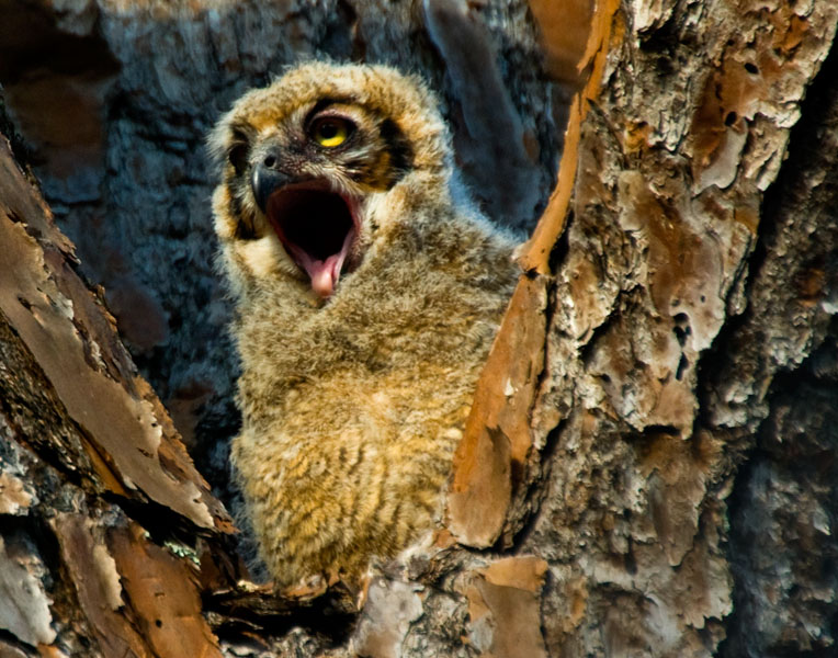 great horned owl chick author watson richard