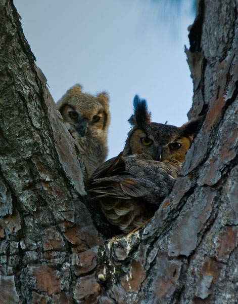 great horned owl mom and chick author watson r richard