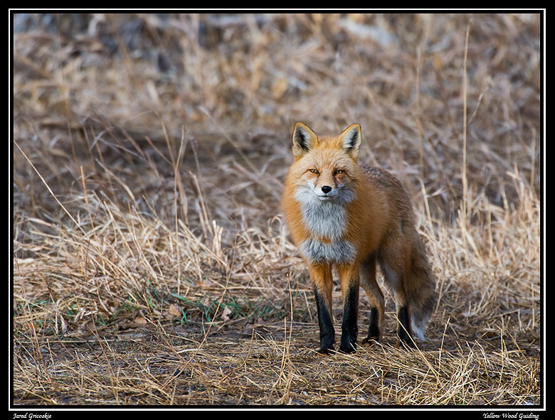 fox in the grass author gricoskie jared