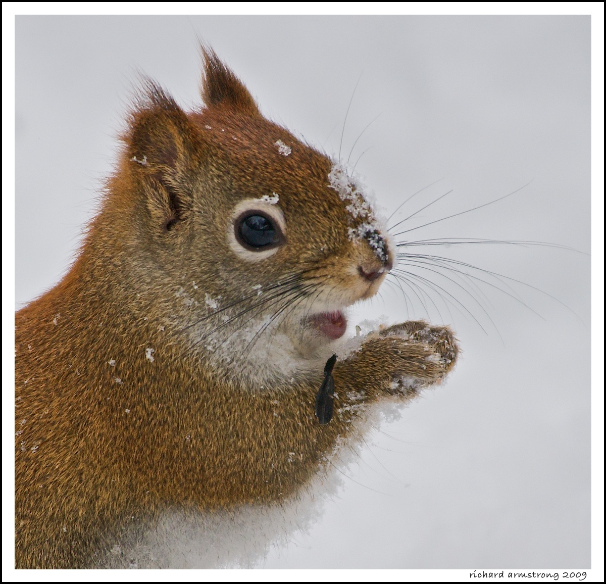 red squirrel author armstrong richard