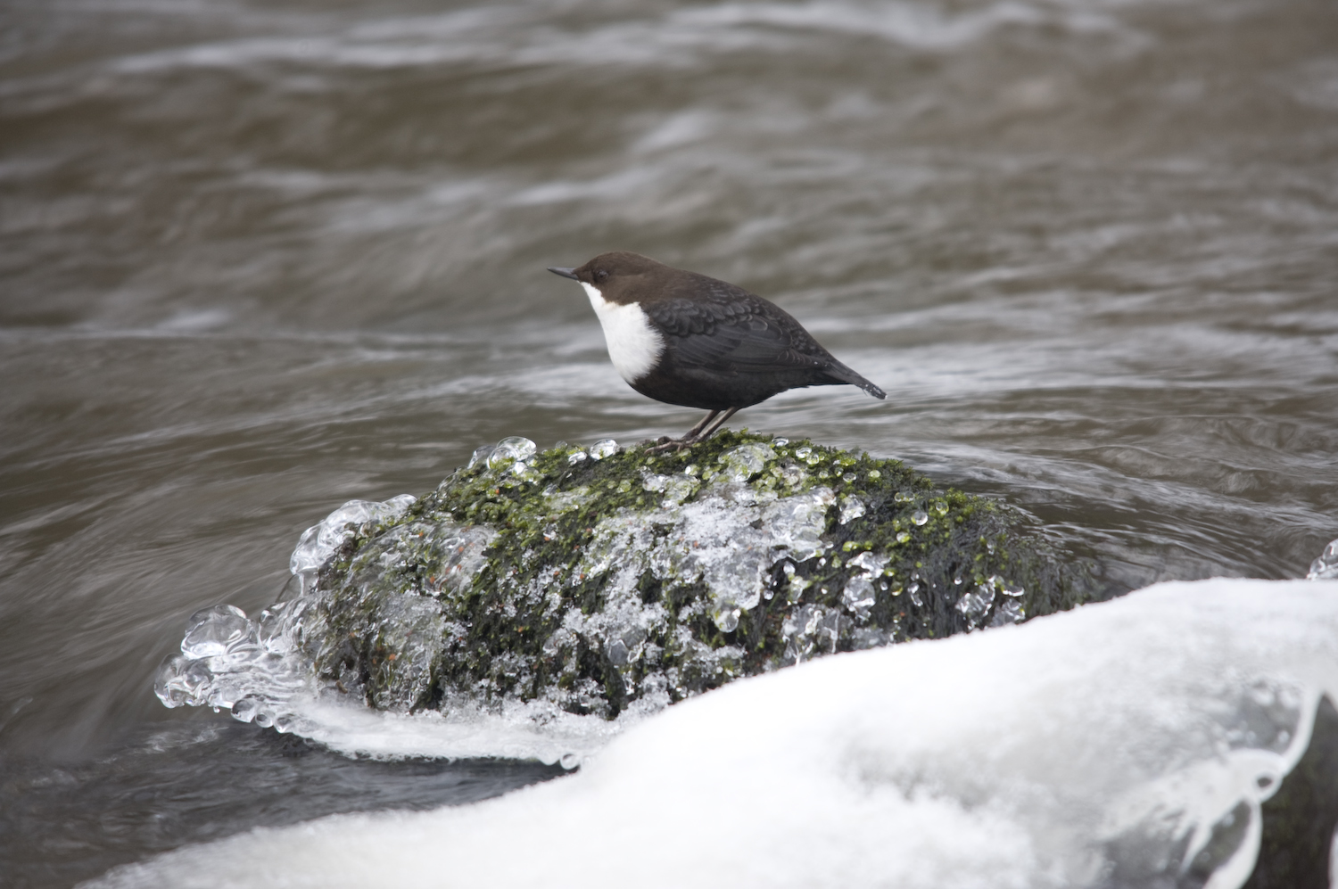 white troathed dipper larger view author soini h hannu