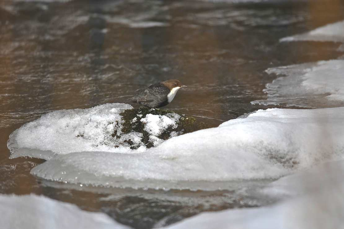 dipper ready to hunt author soini hannu