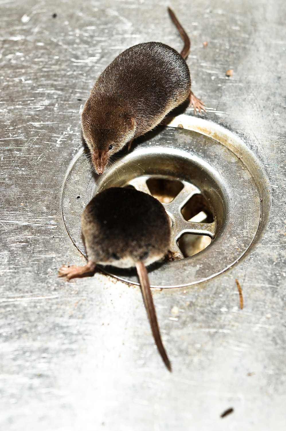 shrew mom and jr in the sink author soini hannu