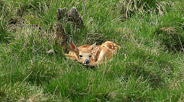 white tail deer fawn author pluskwik paul