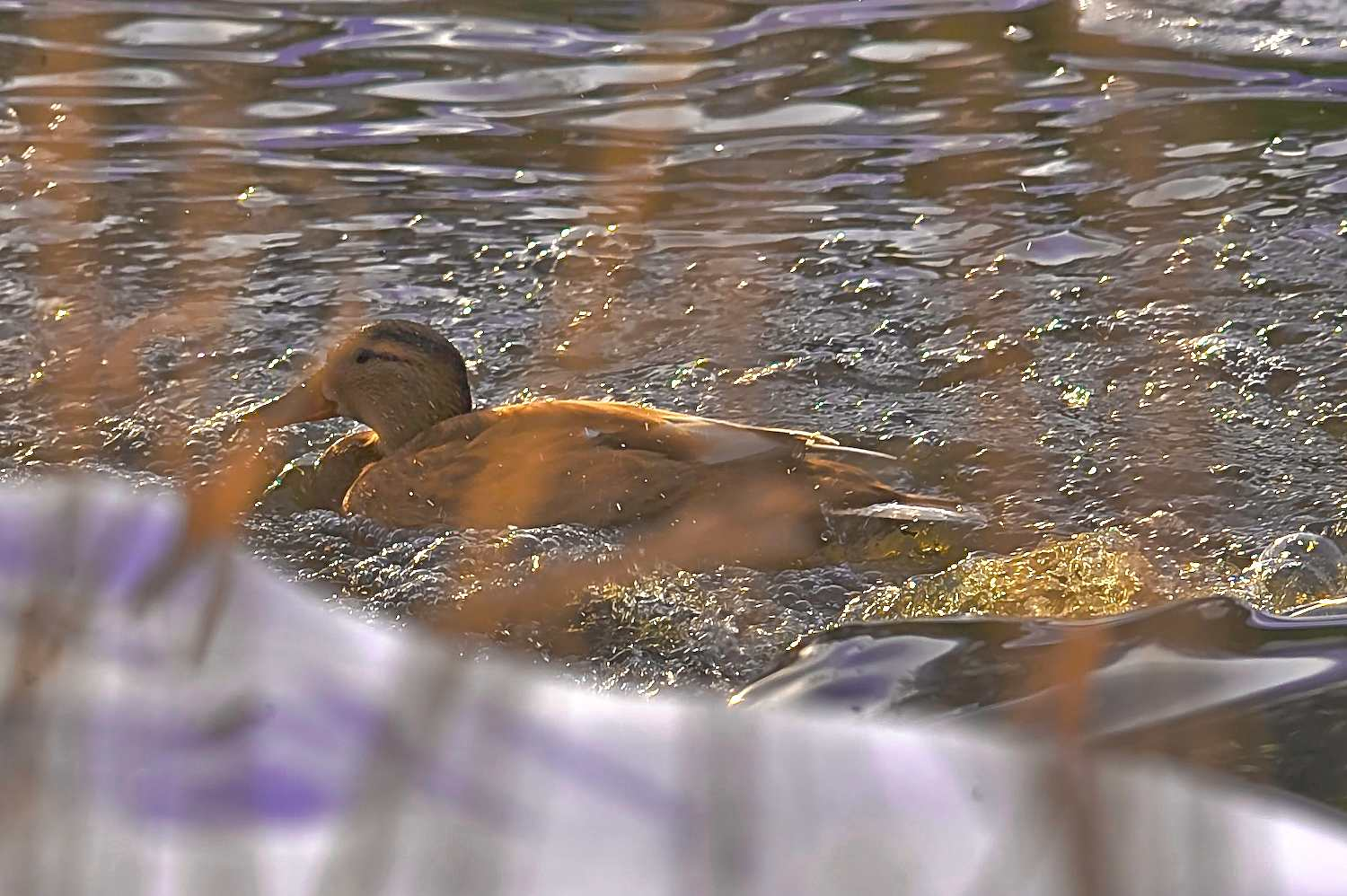 duck s glide to the her pond author soini hannu