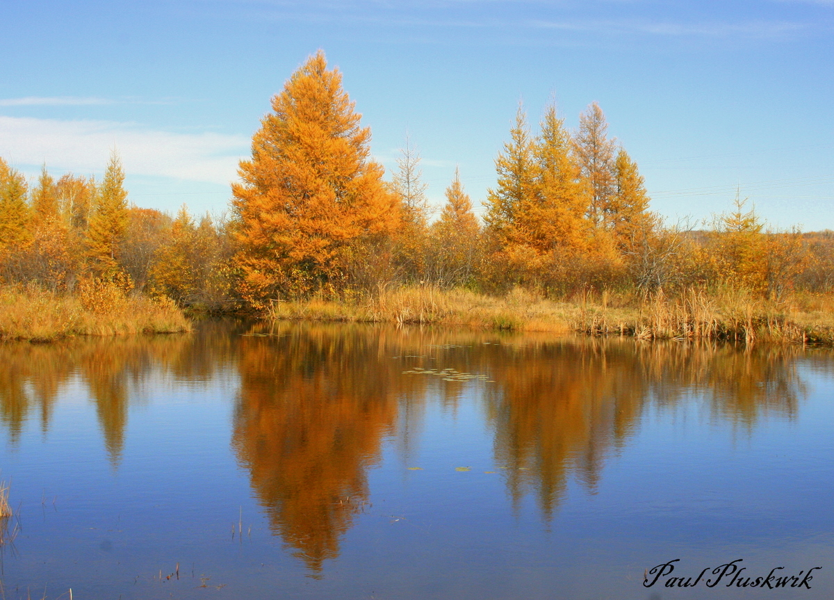 golden tamarack tree rreflections author pluskwik paul