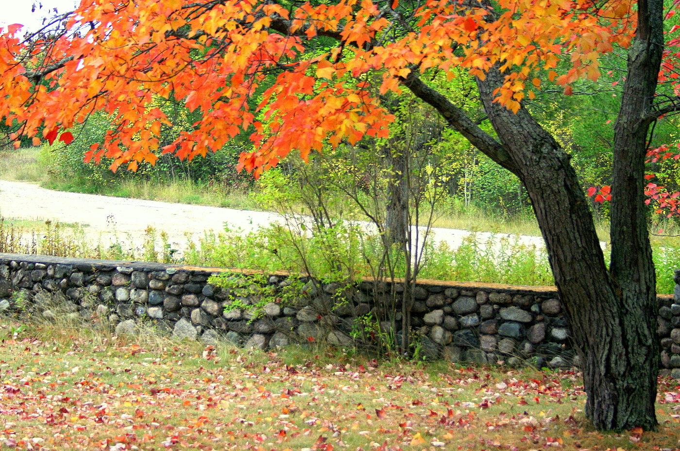 maple tree and stone wall author pluskwik paul