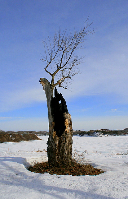 old maple tree stands alone author pluskwik paul