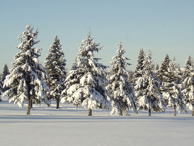 golf course pines in the winter author pluskwik p paul