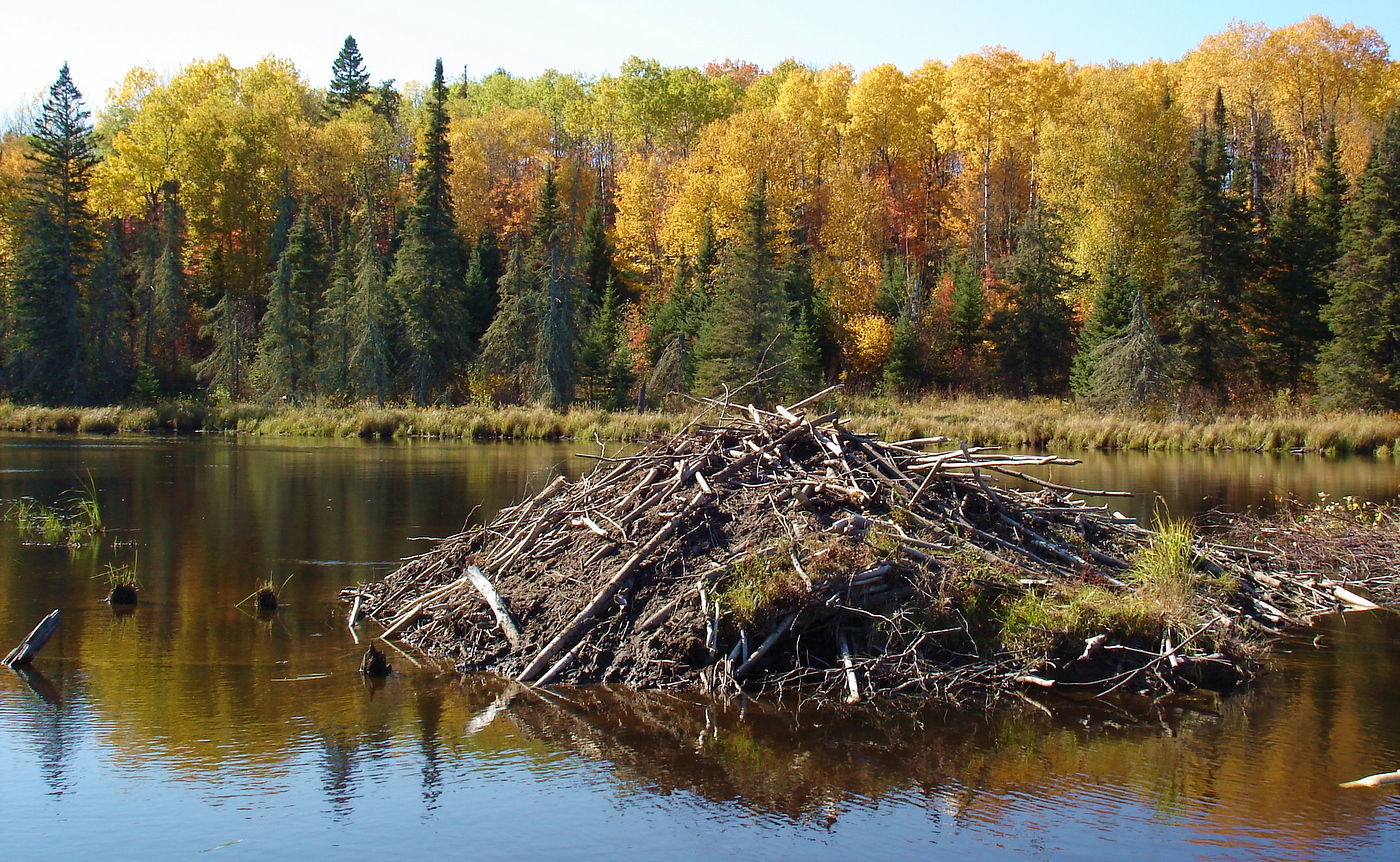 beaver lodge and fall colors pond author p pluskwik paul