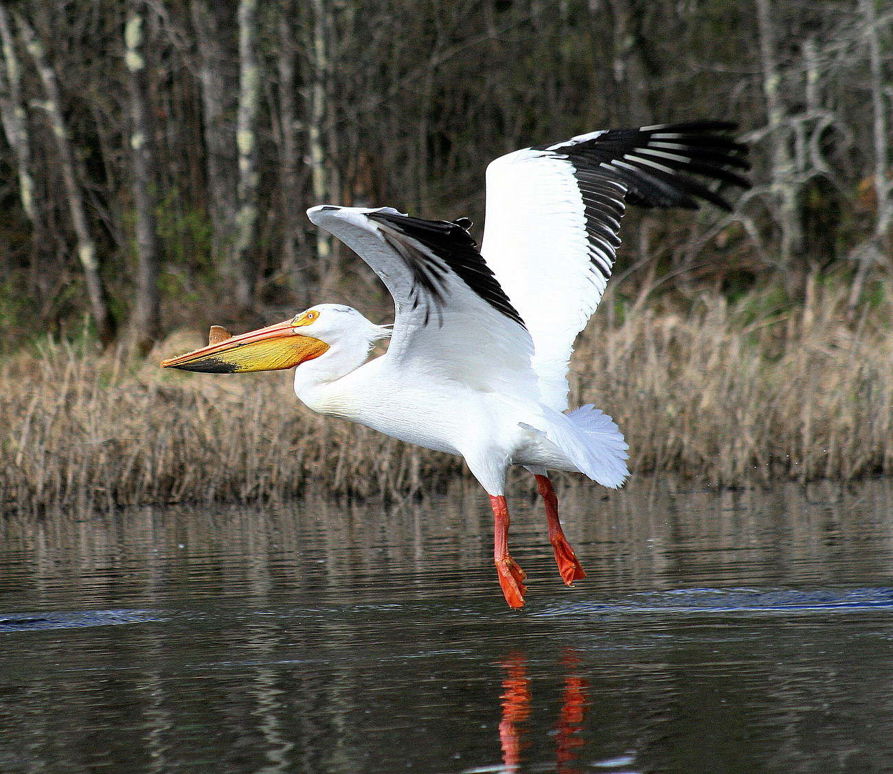 pelican taking flight author pluskwik paul