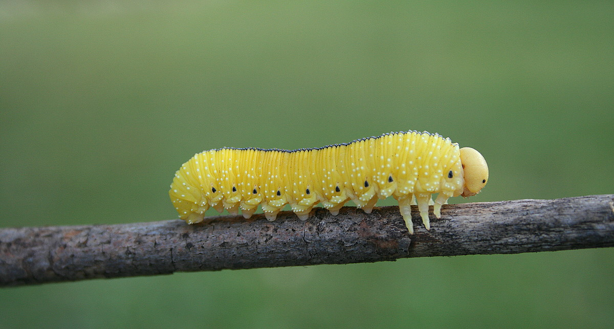 caterpillar on a branch author pluskwik paul