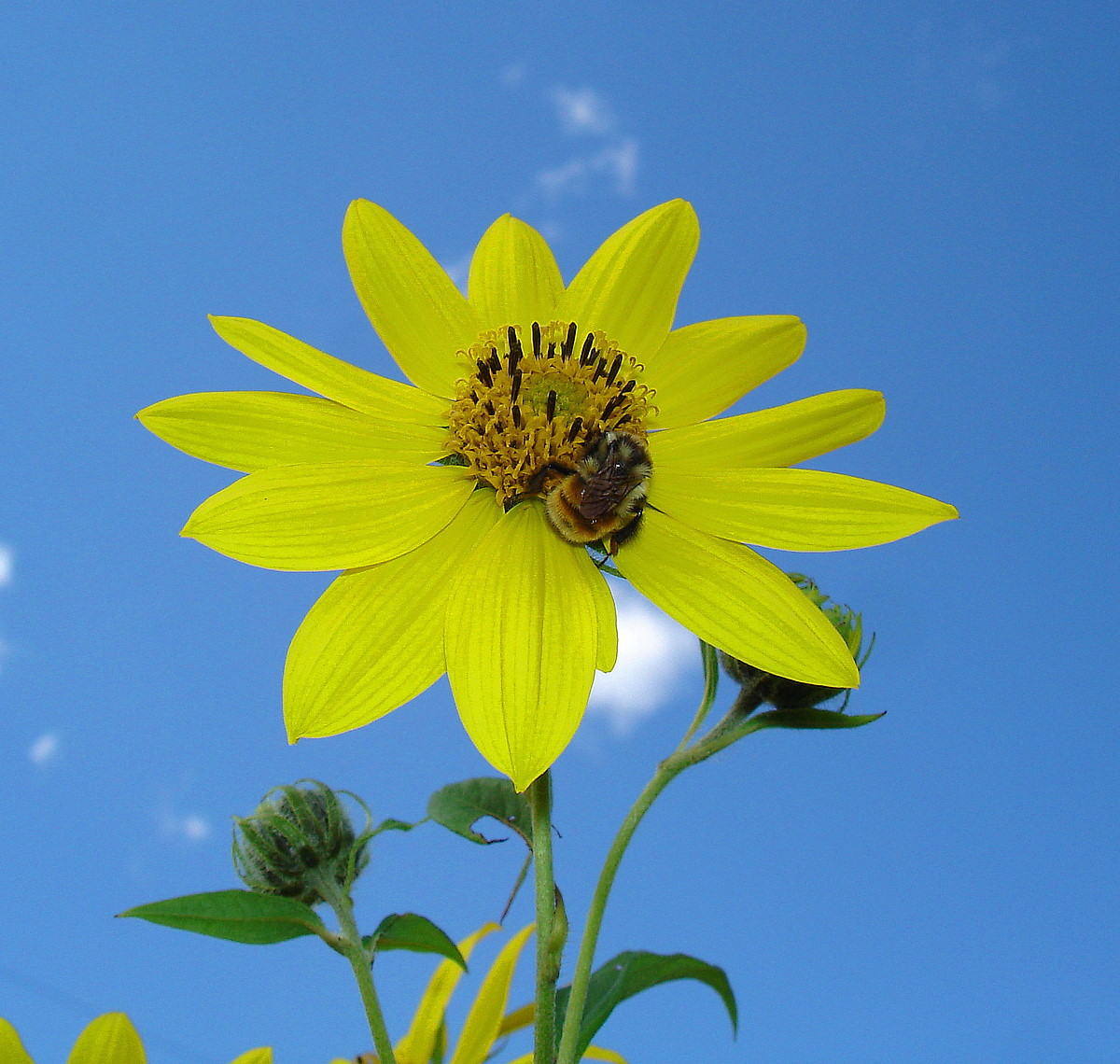 summer blue sky and sunny yellow flower author pl pluskwik paul
