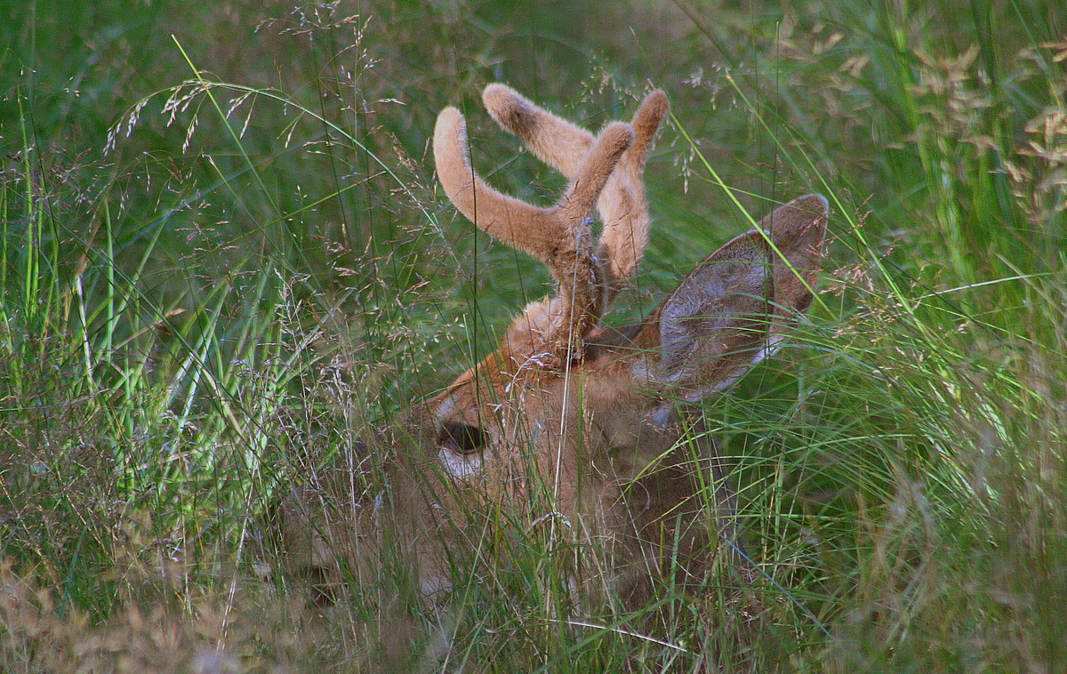 young whitetail buck in velvet antlers author plu pluskwik paul