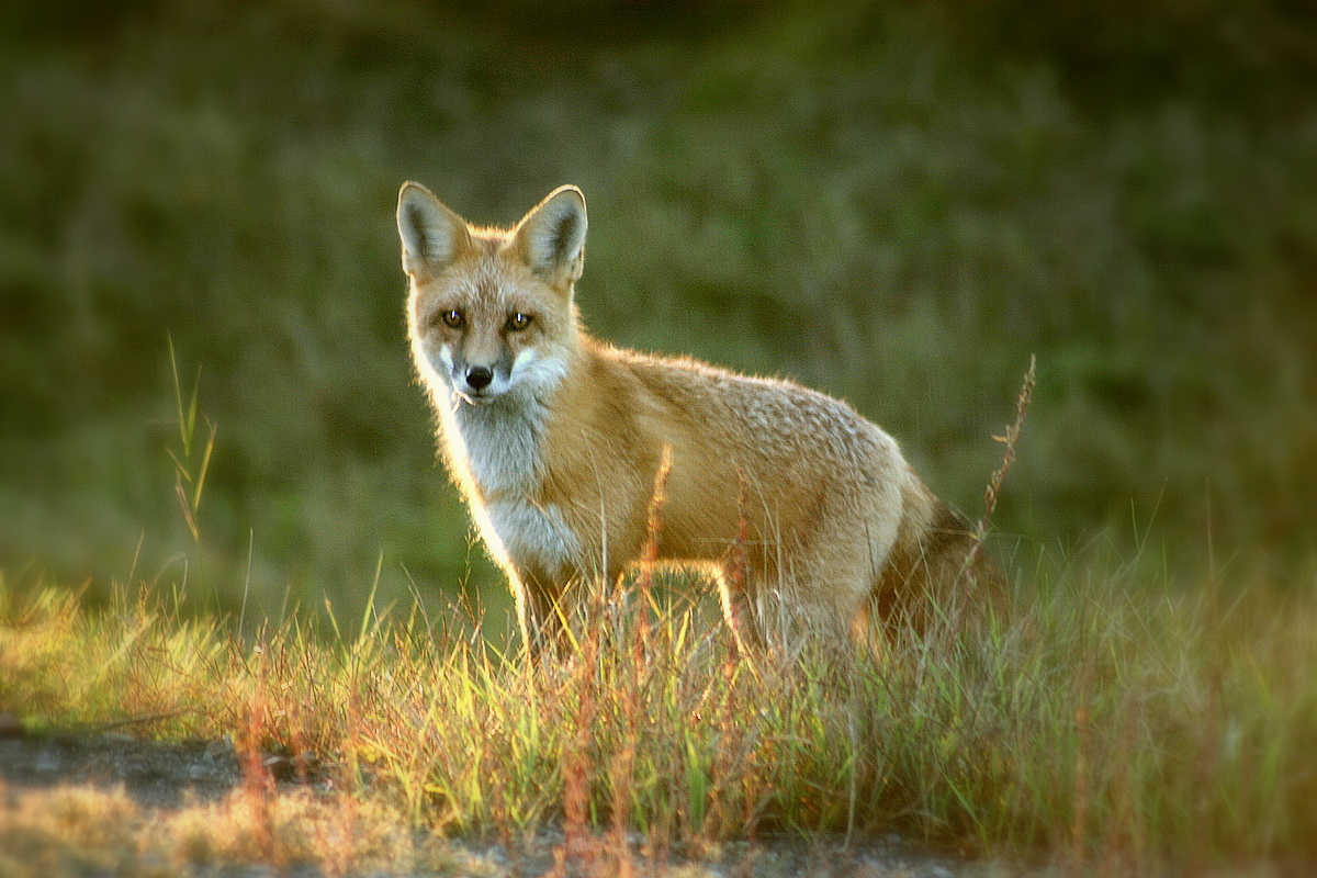 red fox in the late afternoon sun author pluskwi pluskwik paul