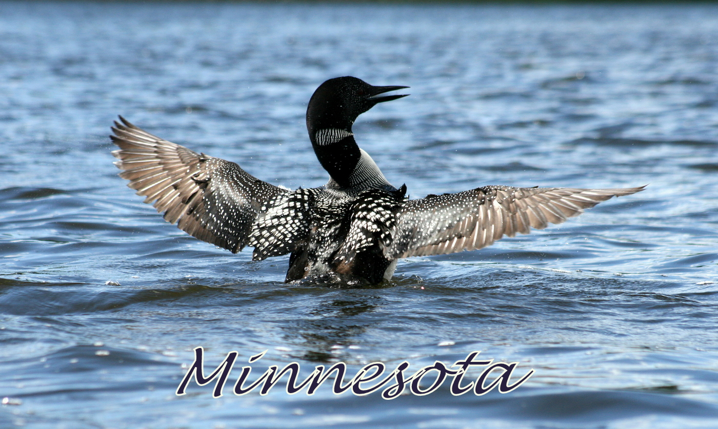 common loon on minnesota lake author pluskwik pau paul