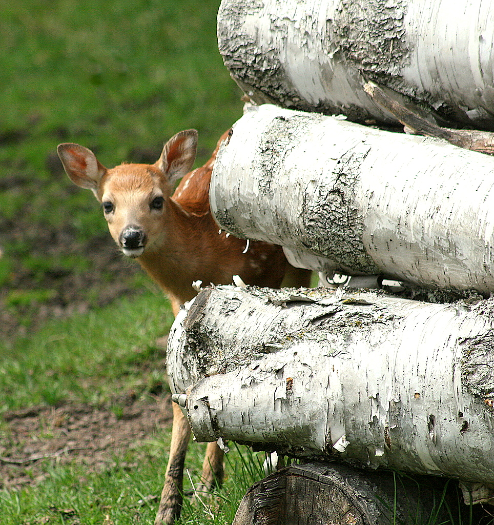 whitetail fawn peeking around wood pile author pl pluskwik paul