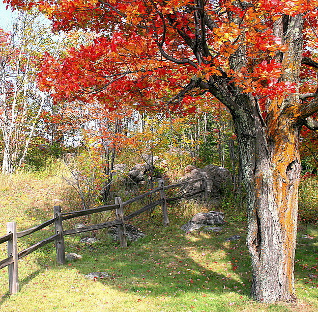 old maple tree and split rail fence in fall autho pluskwik paul