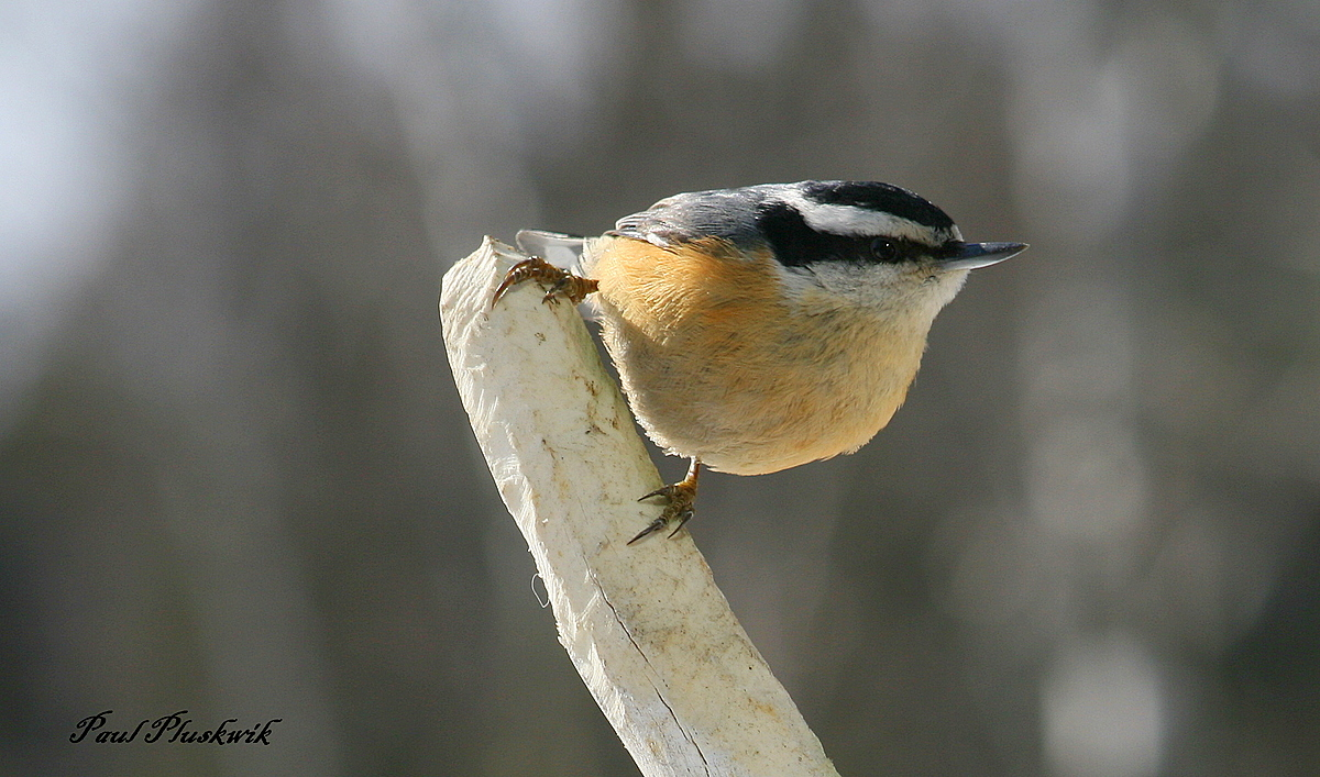nuthatch perched on old antler author pluskwik pa paul