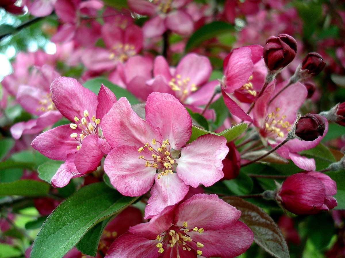 spring apple tree blossoms author pluskwik paul