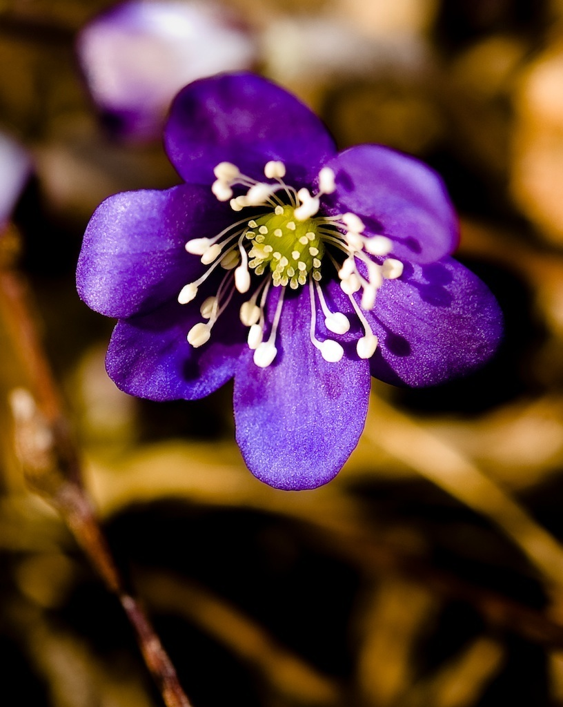 first spring flower author soini hannu