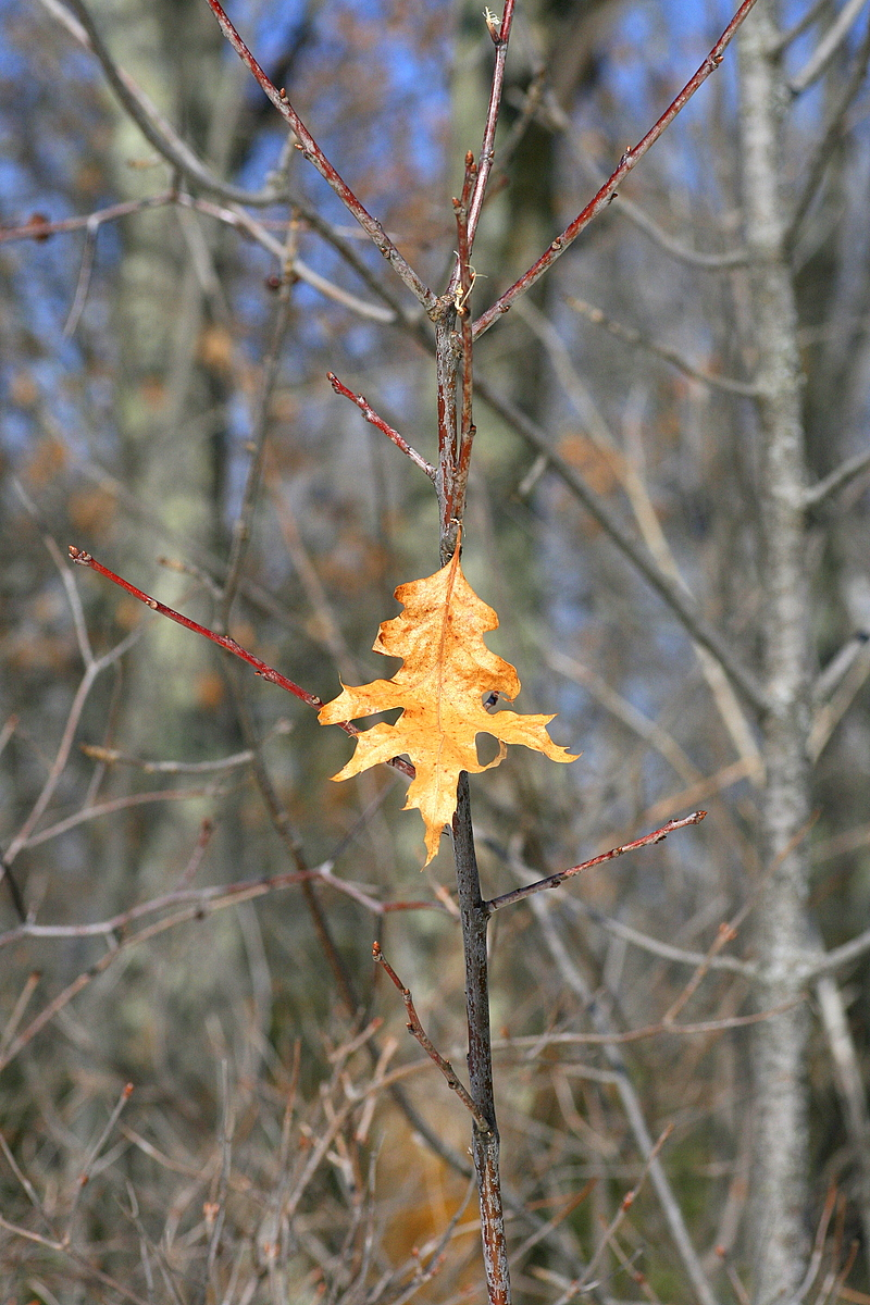 lone leaf stayed on the tree all winter author p pluskwik paul