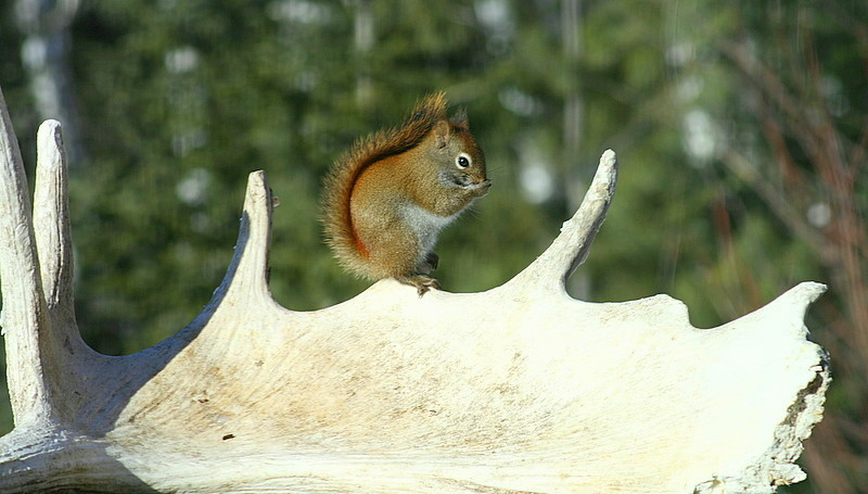 red squirel on old moose antler shed author plus pluskwik paul