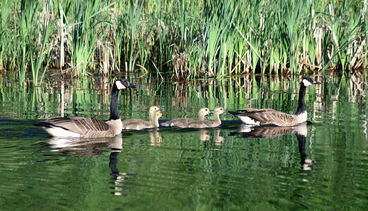 family outing canadian geese author pluskwik pau paul