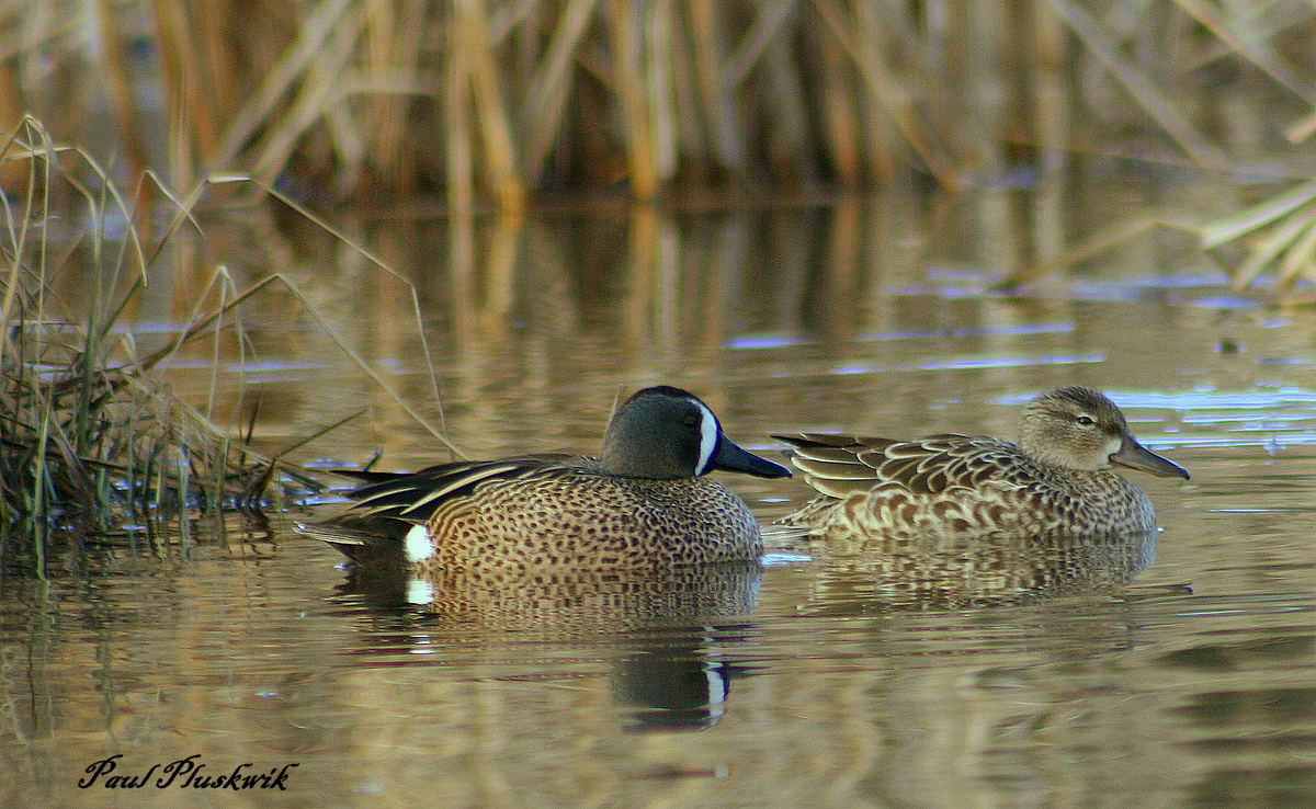 blue winged teal couple author pluskwik paul
