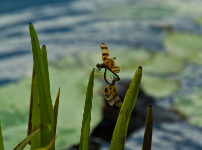 halloween pennant pair author watson richard